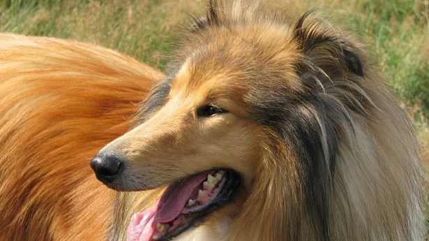 Mastocitoma nel cane