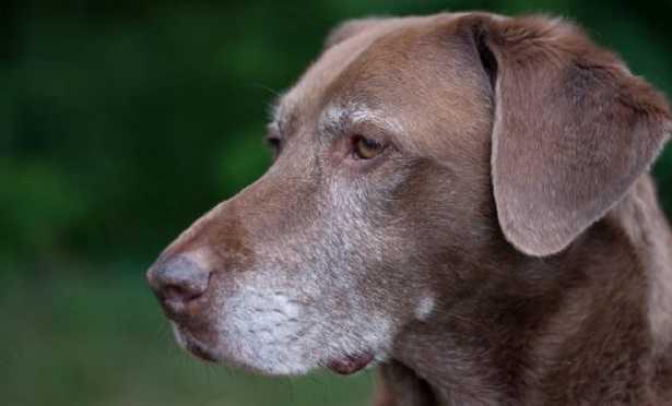 Artrite nei cani
