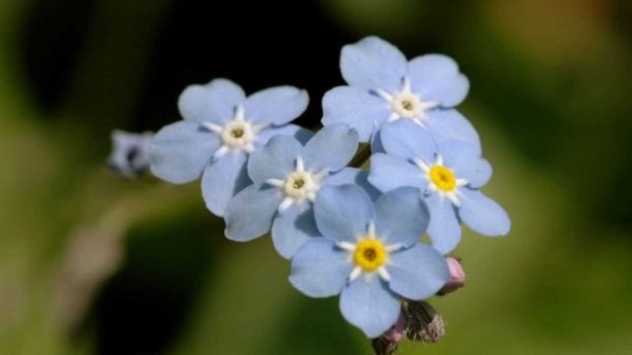 Fiori Selvatici Foto E Nomi fiori azzurri: elenco e foto - idee green