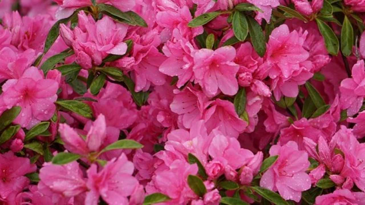 Fiori Rosa Nomi.Fiori Rosa Nomi E Immagini Idee Green