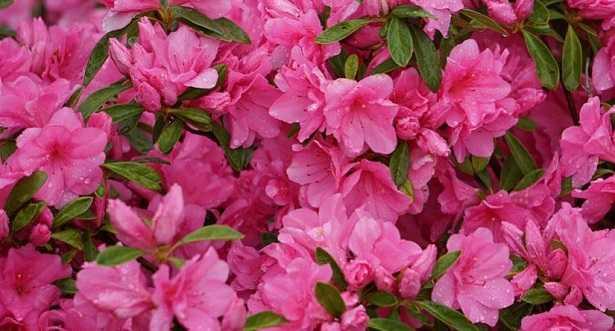 fiori rosa nomi e immagini idee green