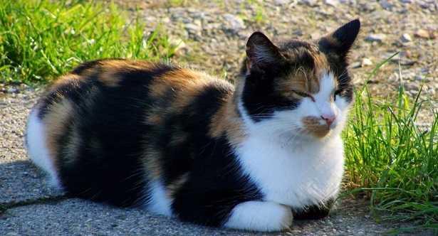 Mastocitoma nel gatto