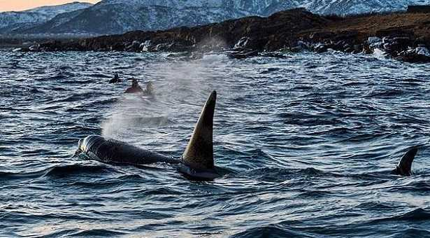 Orche marine