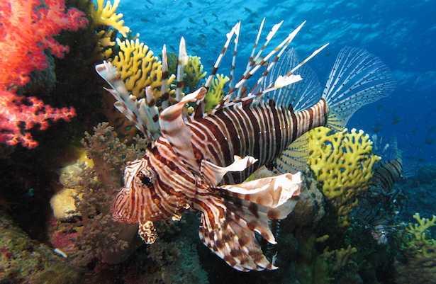 pesce scorpione in italia