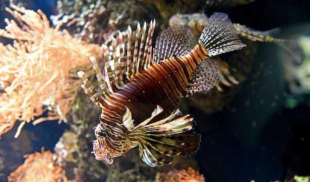 pesce scorpione puntura