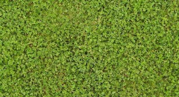 Trifoglio nano caratteristiche e prezzo idee green - Erba nana per giardino ...