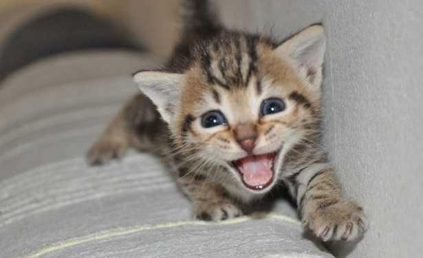 Risultati immagini per google i gatti che miagolano