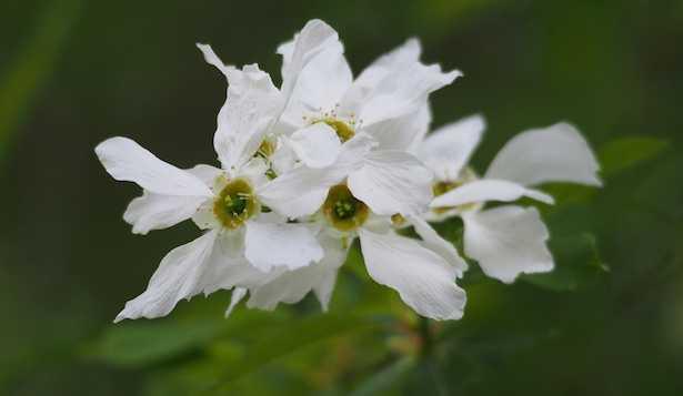 fiore bianco da giardino