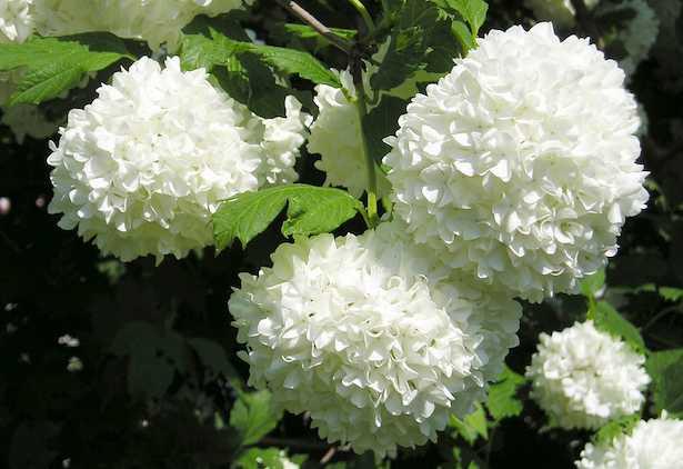 fiore bianco rotondo
