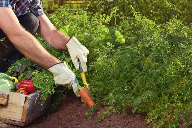 larve dannose orto