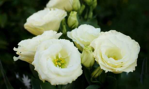 Significato Fiori Bianchi.Lisianthus Fiore E Significato Idee Green