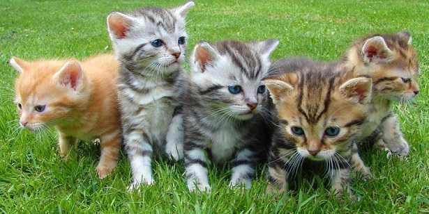 Pedigree gatto