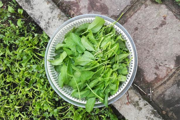 spinaci appena raccolti