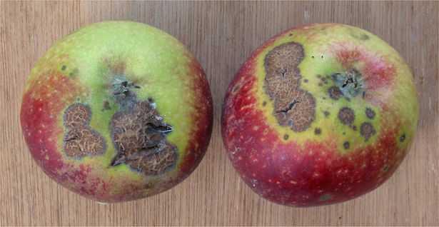 ticchiolatura del melo