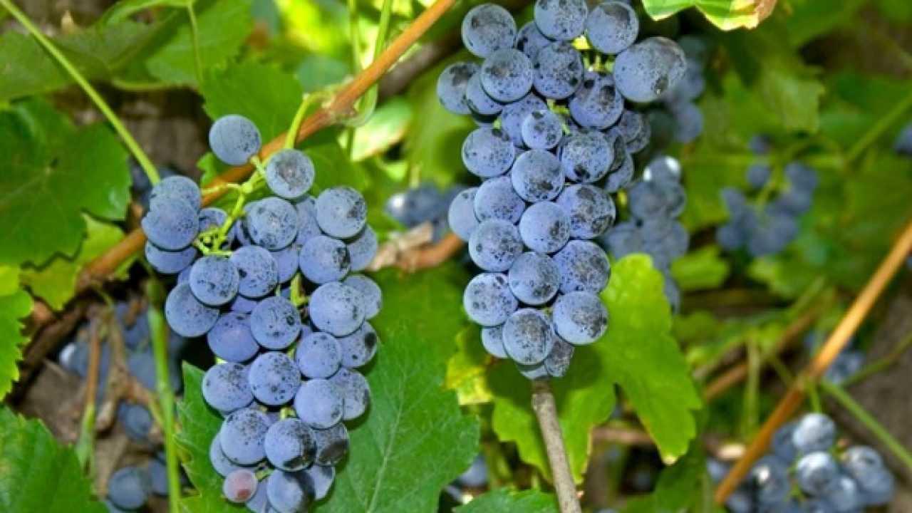 Composizioni Facili Di Frutta uva fragola: proprietà e ricette - idee green