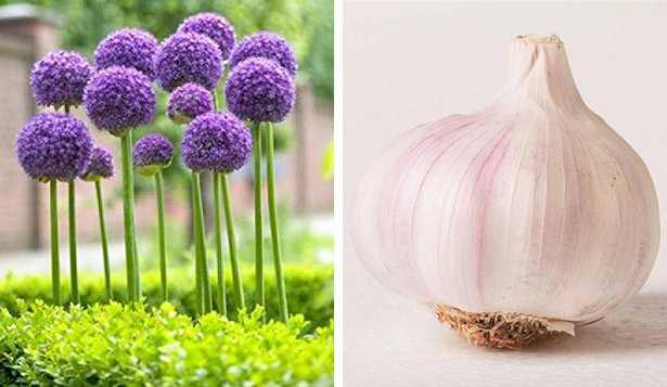 varietà di aglio