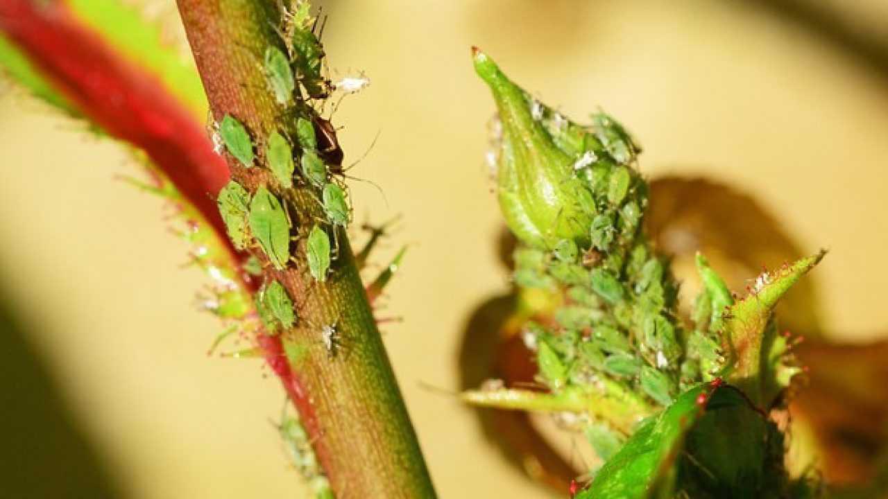 Combattere Afidi Delle Rose come eliminare gli afidi, rimedi naturali - idee green