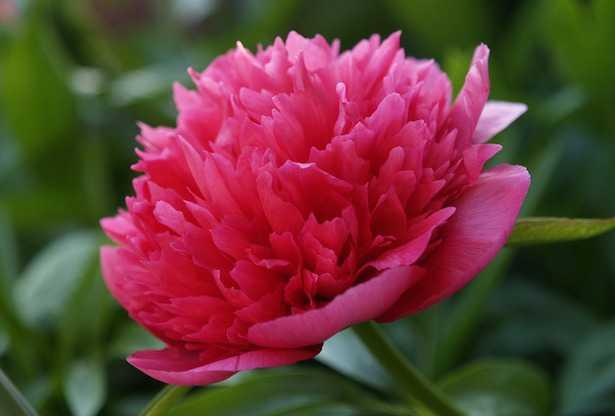 Peonia non fiorisce