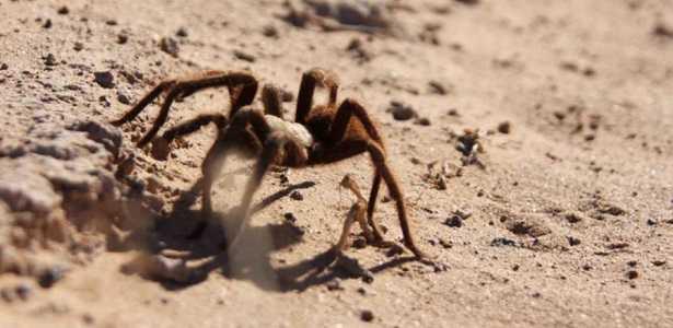 Ragni giganti: cosa sono e dove vivono