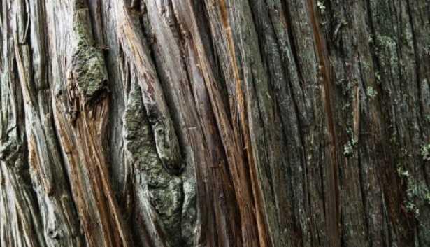 Cedro del Libano: legno e proprietà - Idee Green