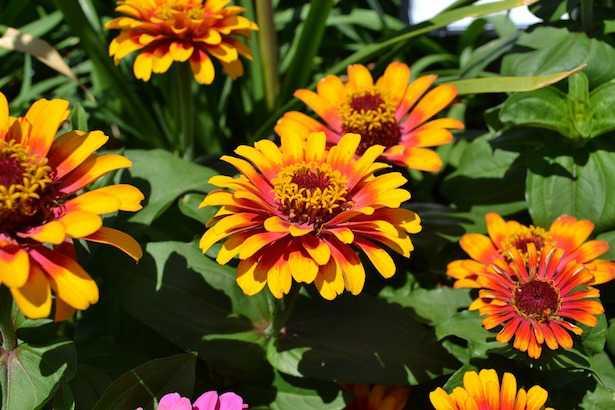 Fiori estivi da vaso o giardino idee green - Fiori da giardino estivi ...