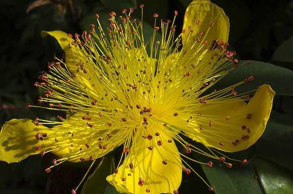 iperico pianta proprietà antidepressivo naturale