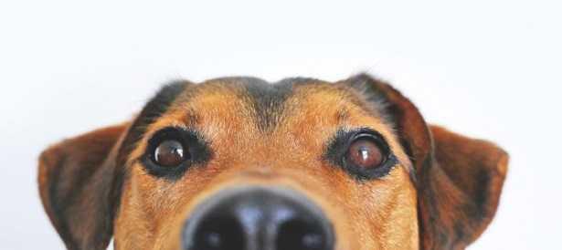 Olfatto del cane