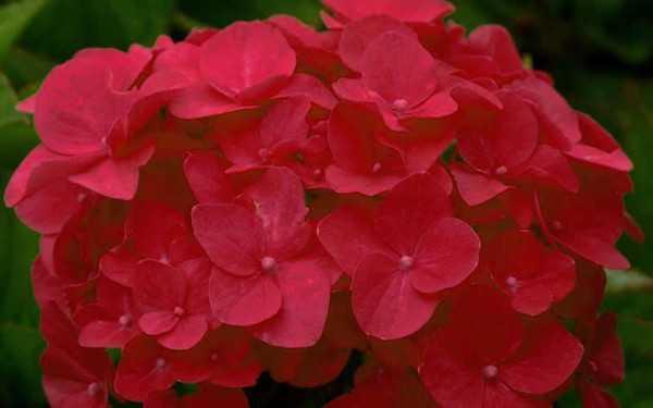 ortensia rossa