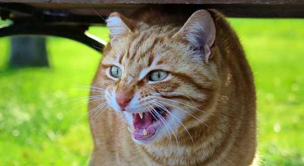 Gatto che miagola - perché i gatti hanno paura dei cetrioli