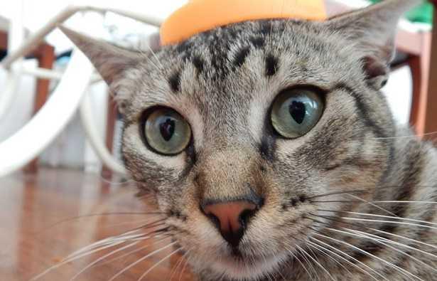 Gatto con occhi verdi in primo piano