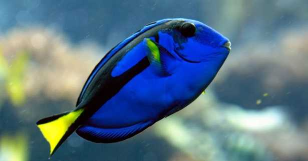 Pesce chirurgo blu idee green for Immagini dory