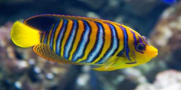 pesci tropicali per acquario