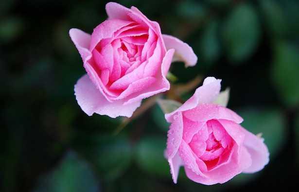 rose profumate