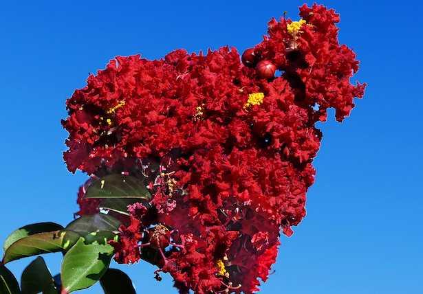 Lagerstroemia concimazione coltivazione cure fioritura potatura