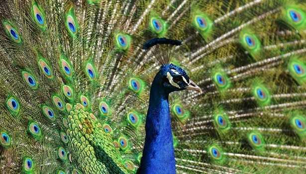 Animali da cortile quali sono idee green for Disegni del mazzo del cortile
