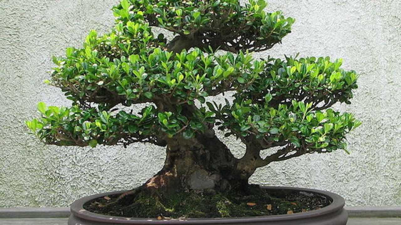 Come Curare Le Piante curare un bonsai, consigli utili - idee green