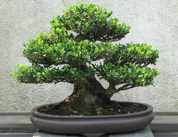come curare un bonsai ginseng