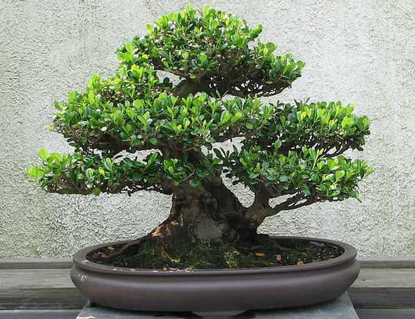 bonsai cure