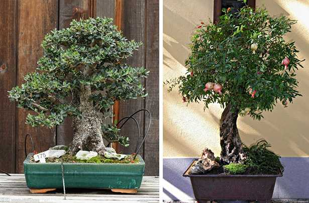 bonsai da esterno idee green
