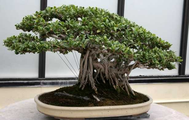 bonsai ficus ginseng cura e potatura idee green