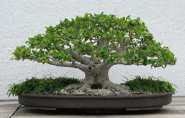 come curare un bonsai ficus ginseng