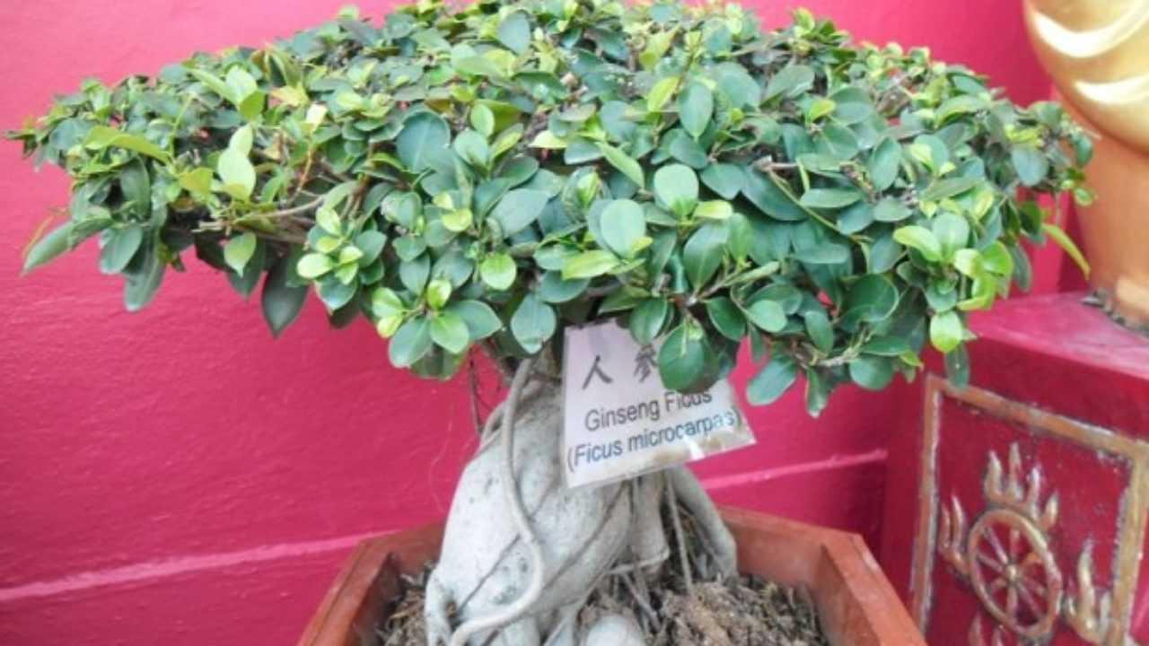 Cura Del Ficus Benjamin bonsai ficus ginseng: cura e potatura - idee green