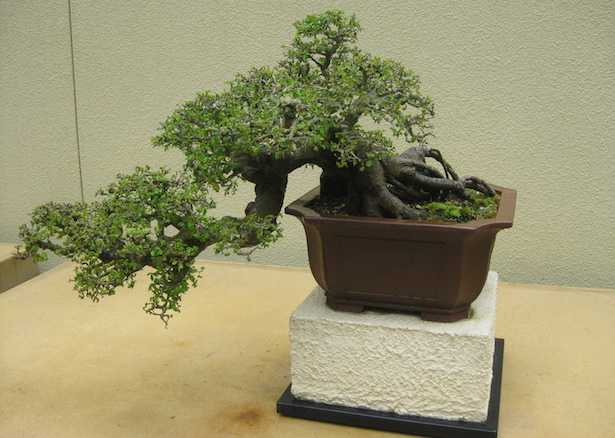bonsai olmo cure olmo cinese cure