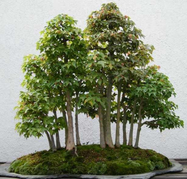 boschetto bonsai
