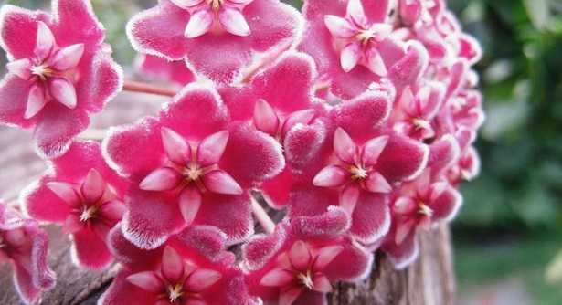 Fiore di cera pianta coltivazione e prezzo idee green for Pianta di cera