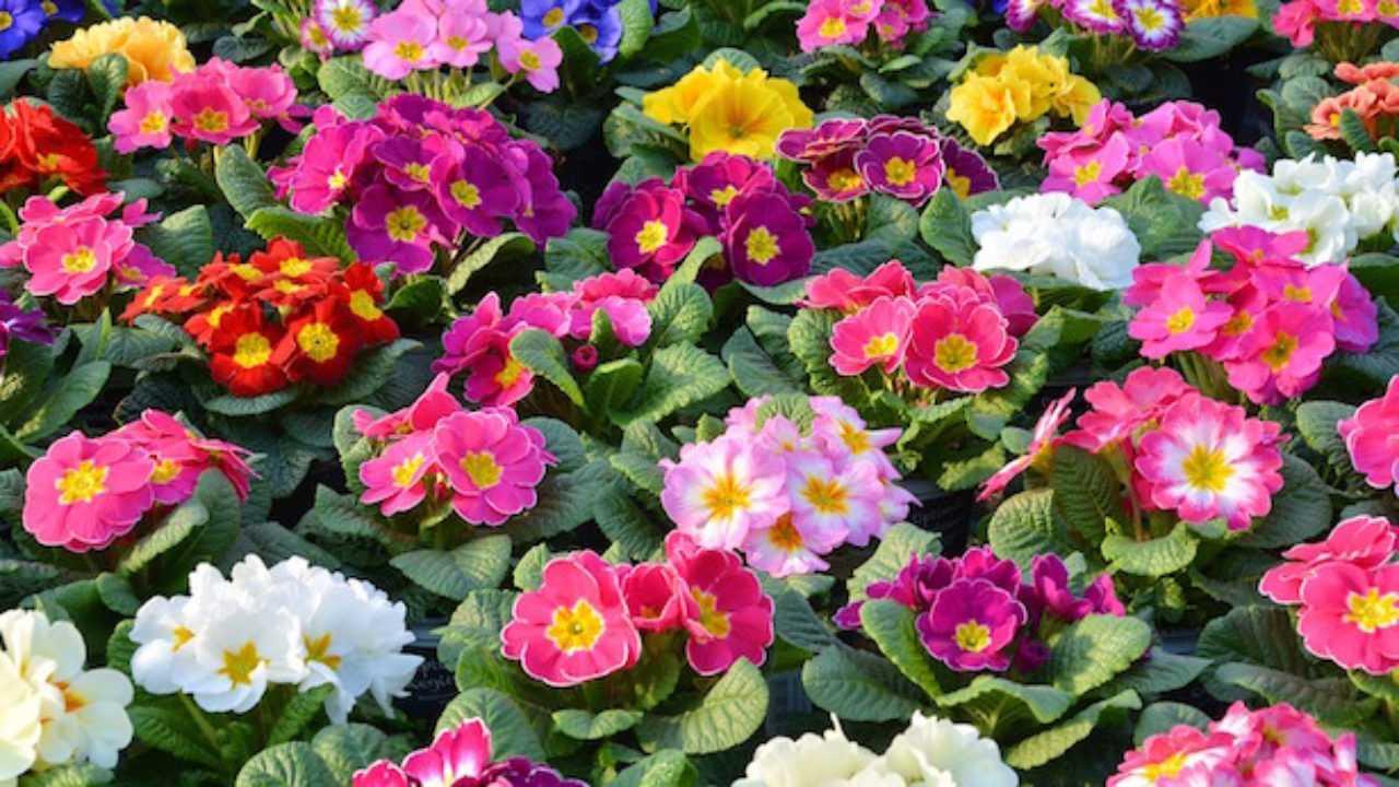 Fiori Perenni Da Balcone fiori all'ombra, quali coltivare - idee green