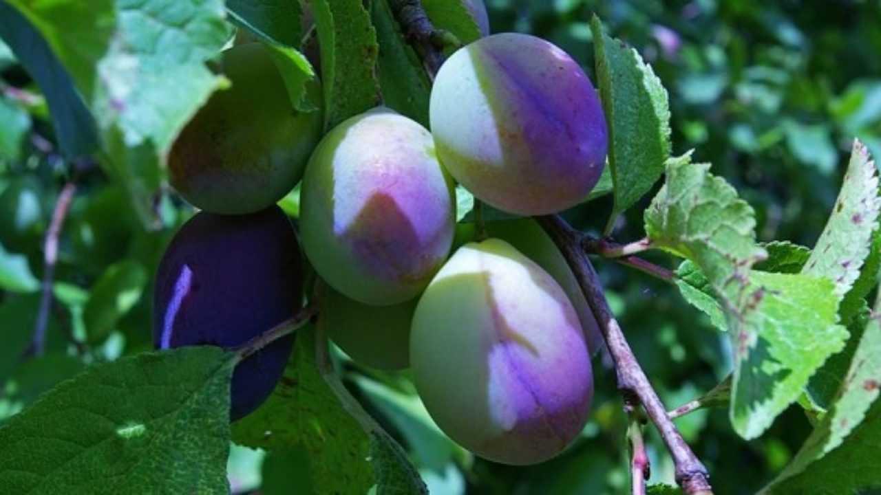 Piante Da Frutto Nane malattie delle piante da frutto - idee green
