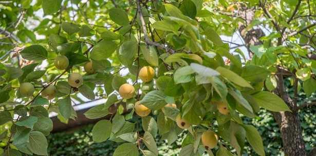 malattie delle piante da frutto idee green