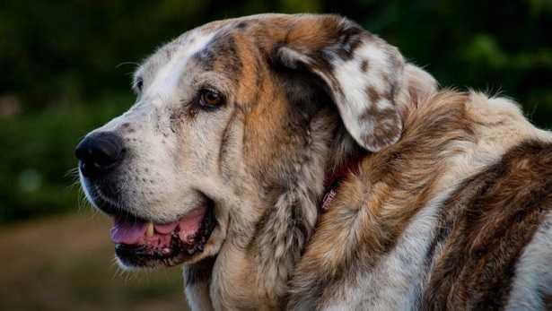 Prurito cane