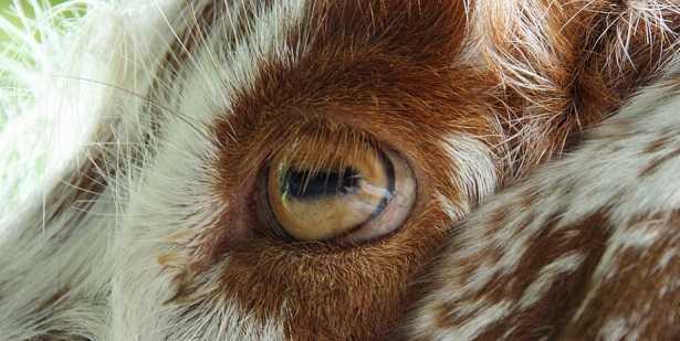 Razze di capre